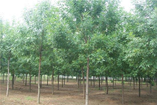 白蜡植株左右对称栽植的两株
