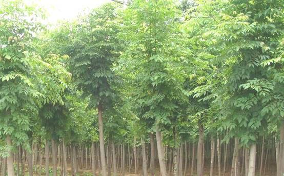 白蜡种植区植物以保持较长观赏期