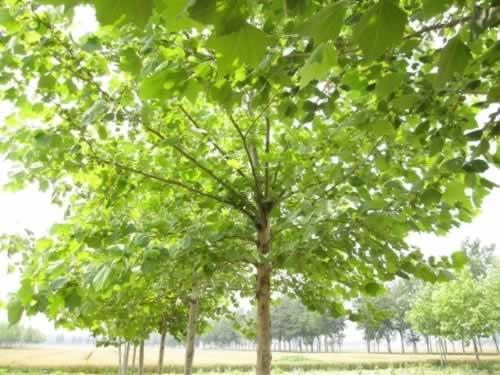 白蜡苗木培育方法主要有分株埋根