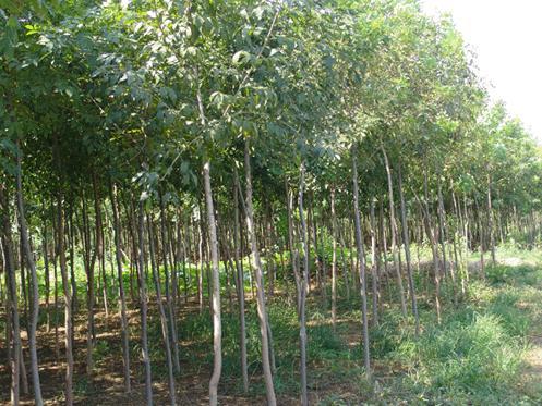 白蜡苗木管理树坑浇满水