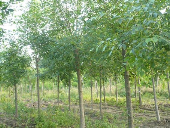 白蜡苗木在栽植过程根系快速生长
