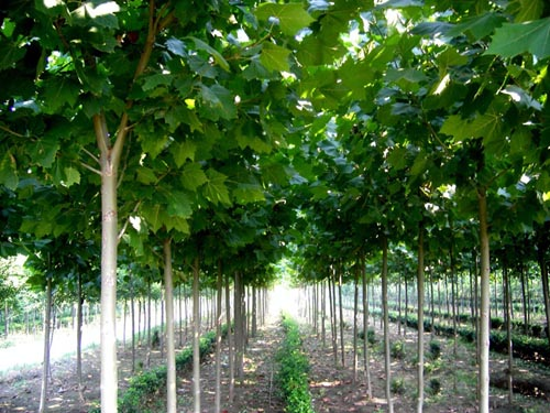 白蜡广泛及重要的绿地系统