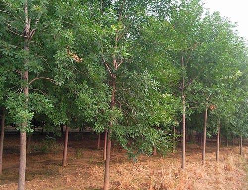 白蜡树干最粗壮的部位的分枝处