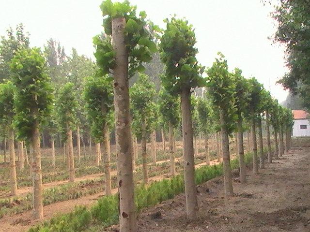 白蜡全缘叶面深绿色有光泽极优良园林绿化树种