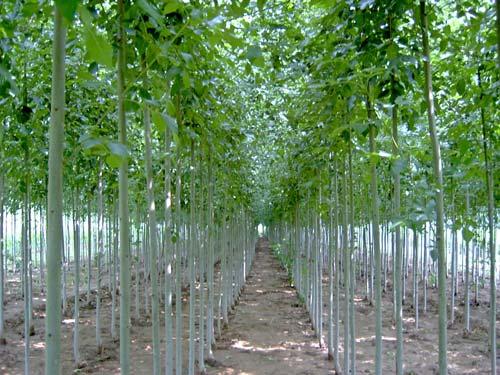 白蜡栽植树木行道树绿带上种植乔木