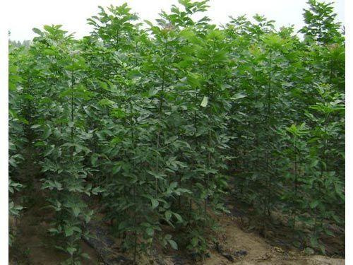 白蜡建立科学有效的排水体系保障苗木存活