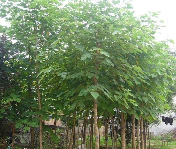 白蜡树冠整形与低干形苗木相同
