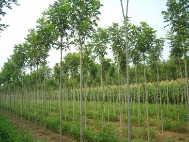 白蜡以保证水分对苗木充分供应