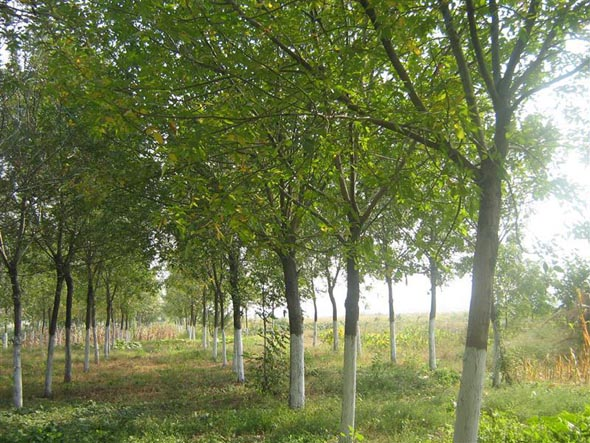 白蜡移植方法有利于苗木生长