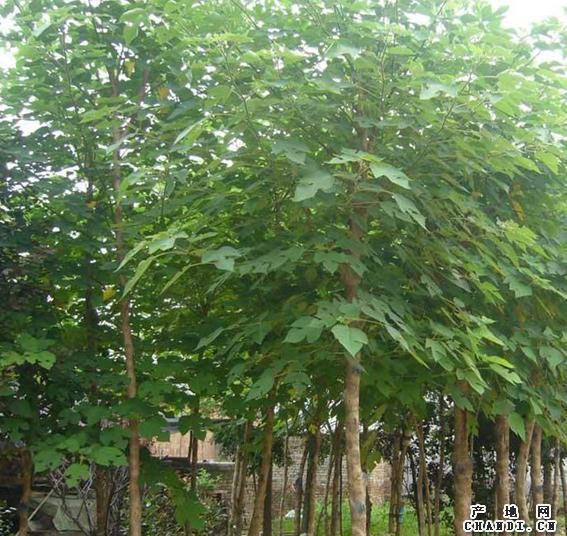 白蜡苗木密度质量起着重要的作用