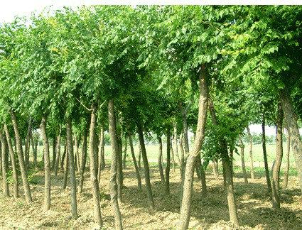 白蜡树皮绿色或灰绿色平滑常不裂