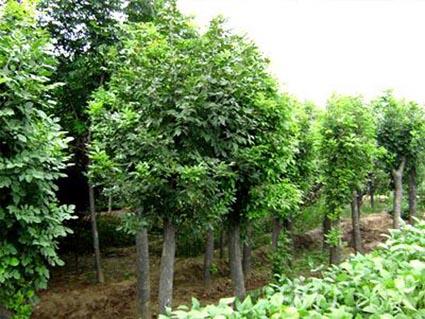 白蜡使树形圆整美观栽前施足基肥