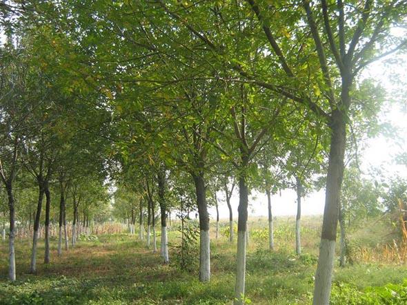 白蜡枝叶茂盛在高温干旱季节抗蒸腾