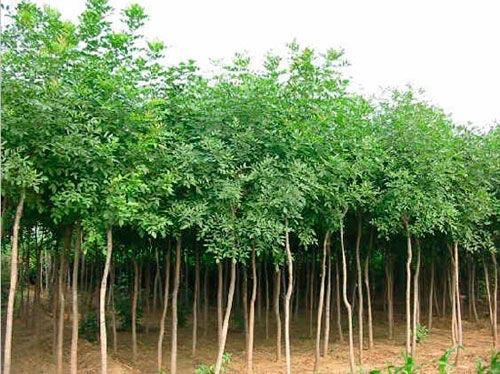 白蜡育苗树冠整齐近球形枝叶茂密