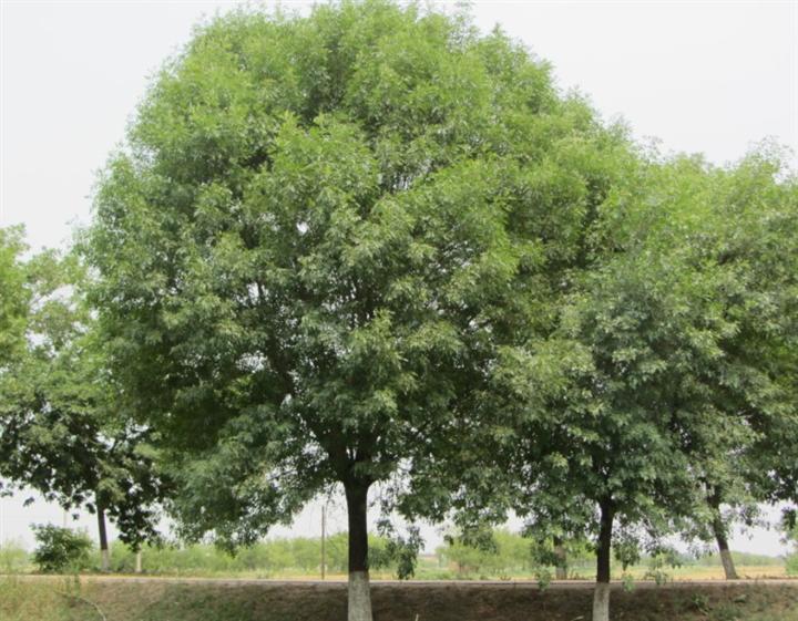白蜡生长浅根性耐旱性强的树种
